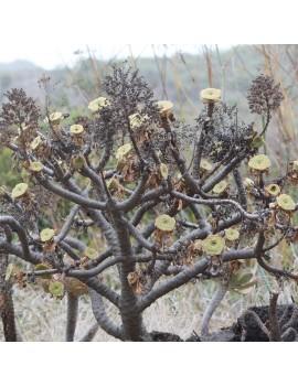 Aeonium arboreum ssp. holochrysum