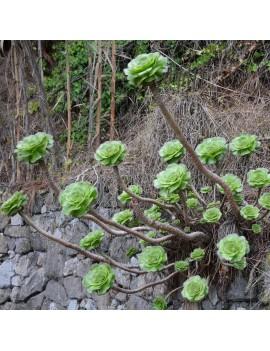 Aeonium undulatum