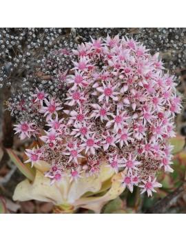 Aeonium lancerottense