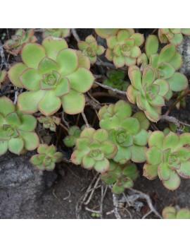 Aeonium volkeri