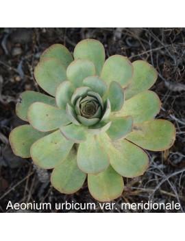 Aeonium urbicum var. meridionale