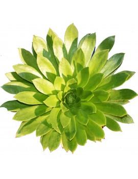 Aeonium 'x stevenii'