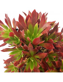 Aeonium 'Cornish Tribute'