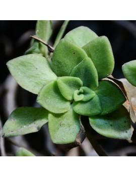 Aeonium goochiae
