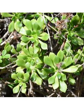 Aeonium viscatum