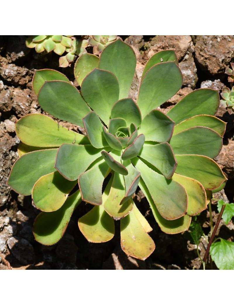 Aeonium puntallanense