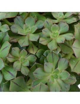 Aeonium mascaense