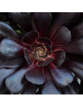 Aeonium 'Zwartkop'