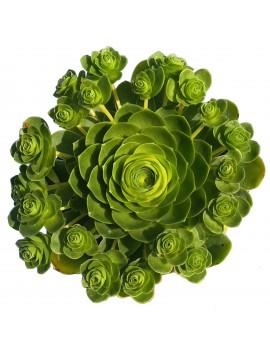 Aeonium dodrantale, greenovia dodrantalis