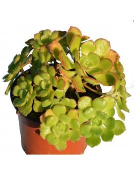 Aeonium mascaense x davidbramwellii
