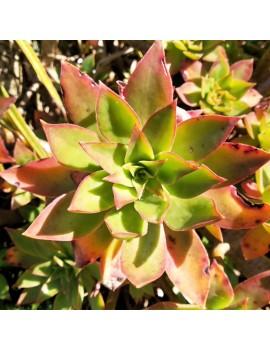 Aeonium leucoblepharum Yémen