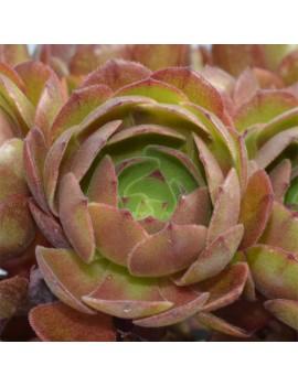 Aeonium 'Halloween' ou 'Madeira Rose'
