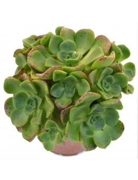 Aeonium 'Lily Pad'