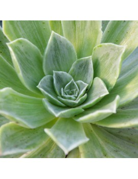 Aeonium 'Taeyang variegata'