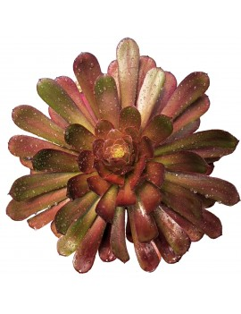 Aeonium 'Copper Kettle'