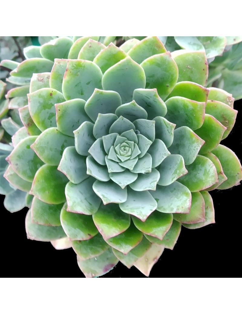 Aeonium catello-paivae