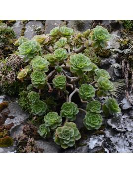 Aeonium leucoblepharum Éthiopie
