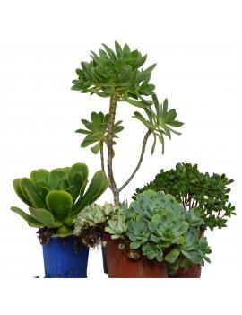 Pack d'aeonium botaniques