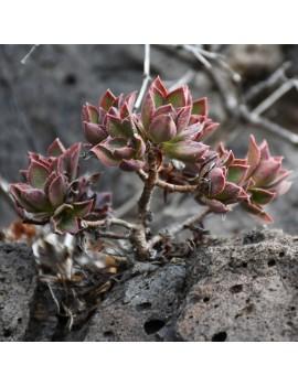 Aeonium decorum var. alucense