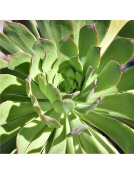 Aeonium pseudurbicum