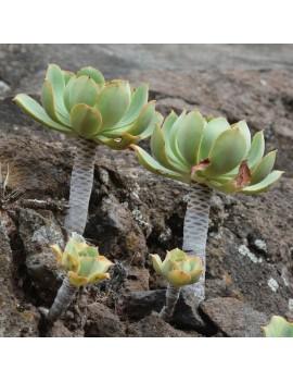 Aeonium appendiculatum