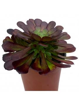 Aeonium 'Zwartkin'