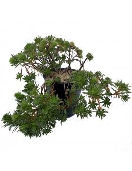 Aeonium 'x hybridum'