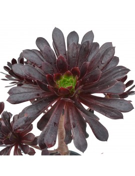 Aeonium 'Poldark'