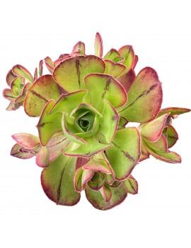 Aeonium 'Marnier-Lapostolle'