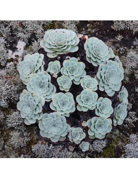 Aeonium aureum, Greenovia aurea