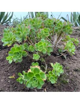 Aeonium leucoblepharum Somalie