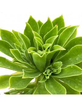 Aeonium 'Hievec'