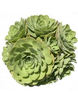 Aeonium 'Salad Bowl'