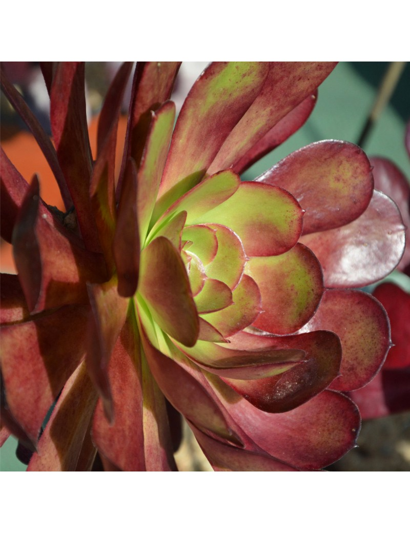 Aeonium 'Vernis Sage'