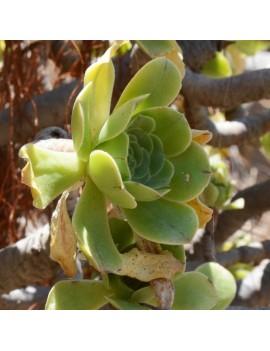 Aeonium korneliuslemsii
