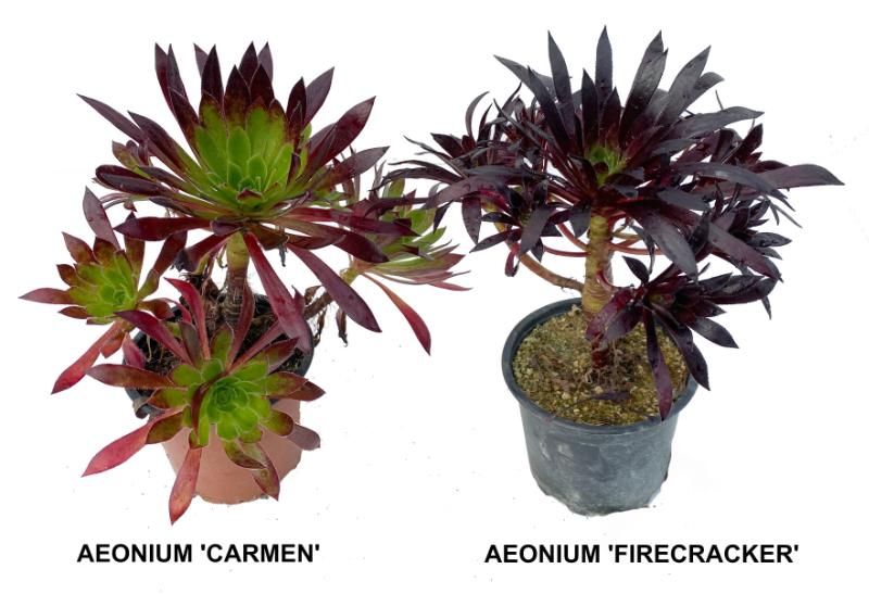 Différences aeonium 'Firecracker' et 'Carmen'