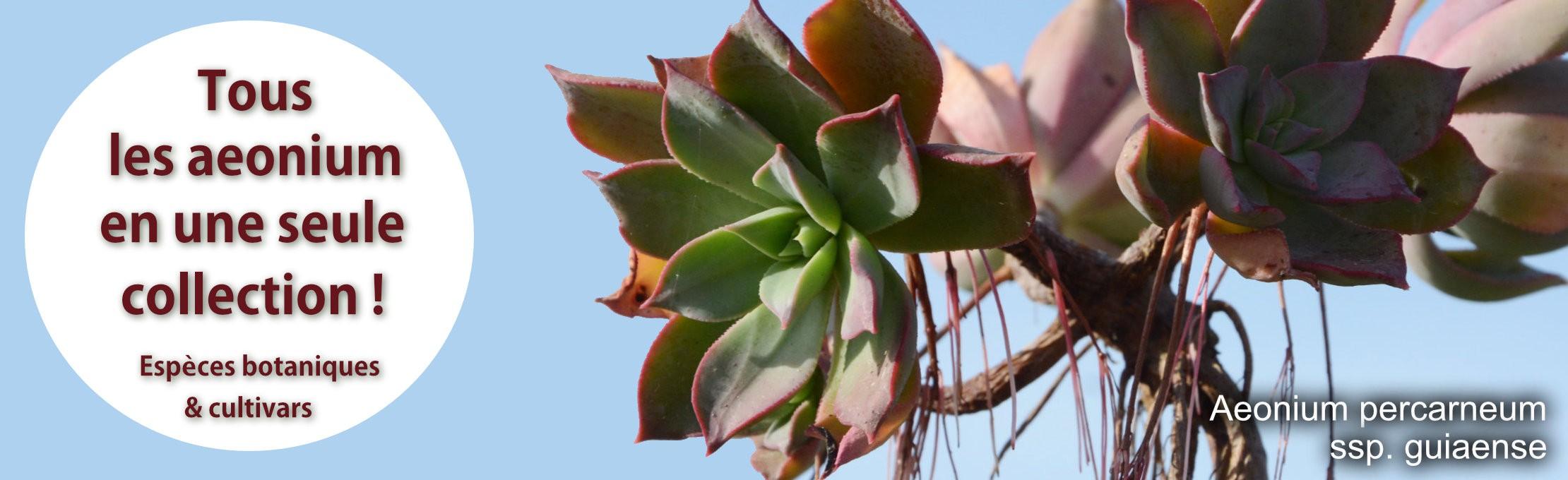 Découvrez tous les aeonium botaniques